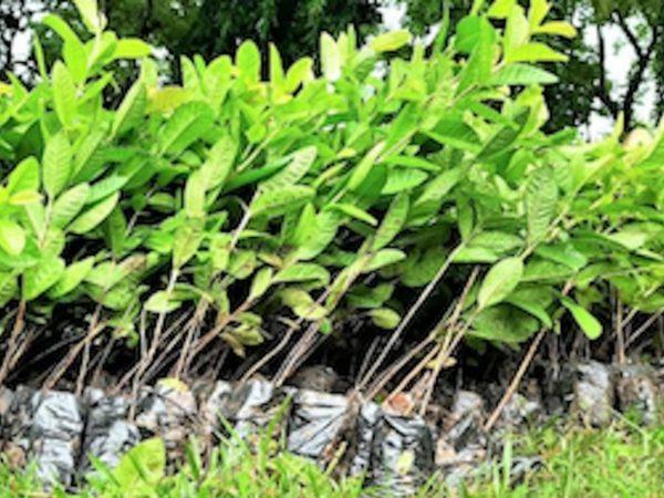 índia planta 1 milhão de árvores