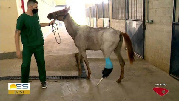 Potra ganha prótese e evita ser sacrificada