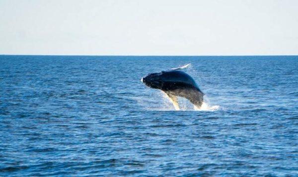 baleias retornam para seu habitat