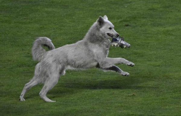 cachorro invade partida