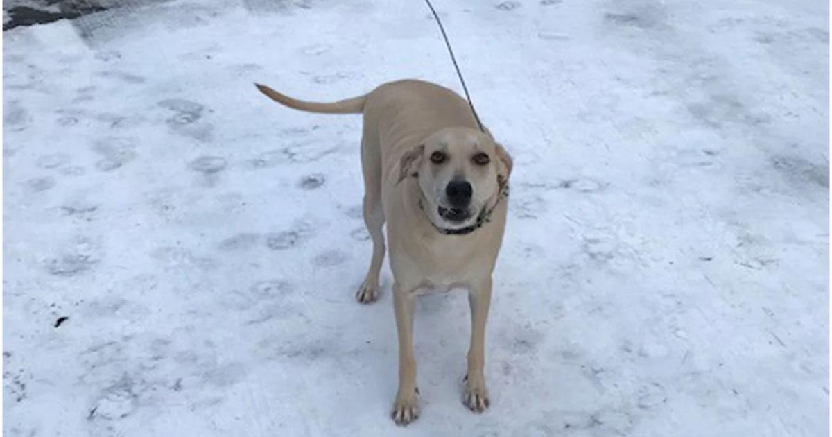 Cão-guia alerta equipe de resgate e salva dono cego que caiu em um rio coberto de gelo 5