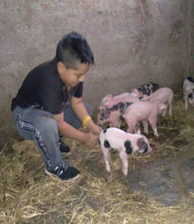 menino fazendo carinho filhotes porca