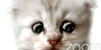 advogado gatinho zoom