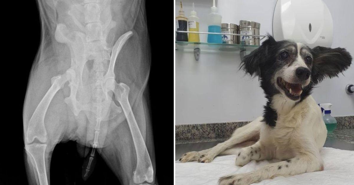 Raio-x de corpo de cachorra e cachorra deitada em consultório