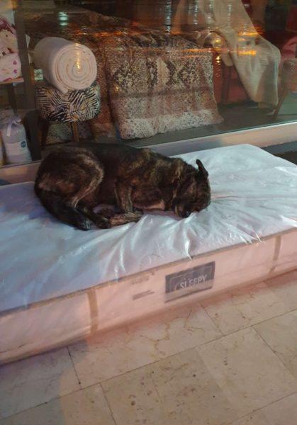 comerciante coloca colchão para cachorro dormir
