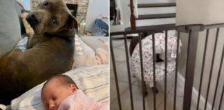 Pitbull com bebê dormindo e pitbull segurando travesseiro com a boca