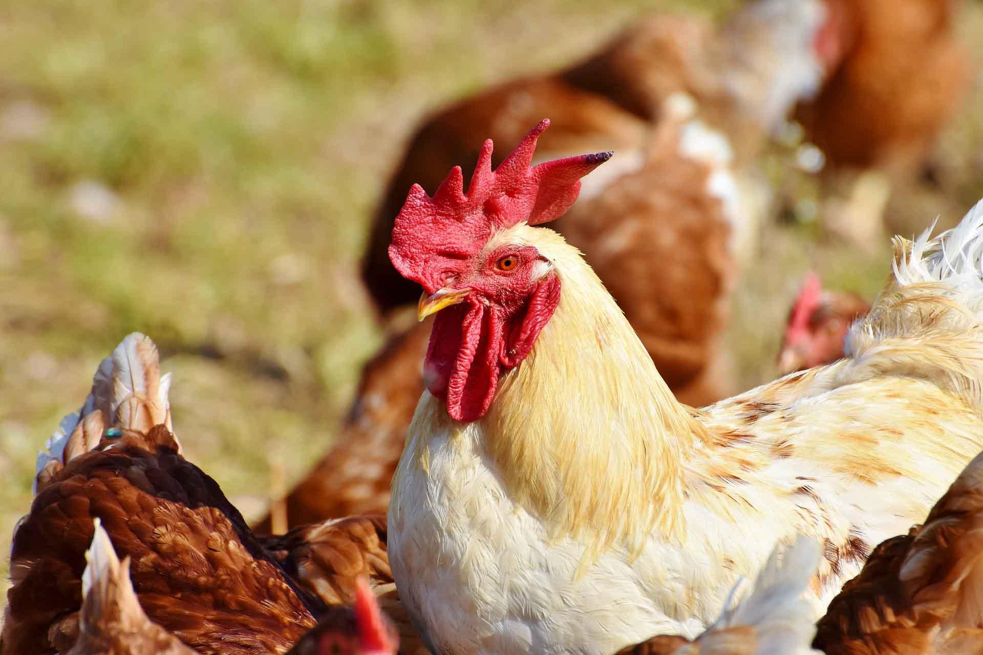 Foto com frangos para ilustrar matéria sobre um pesquisador que desenvolve alimentos ricos em proteínas com penas de frango