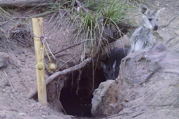 vombates cavam poco 1