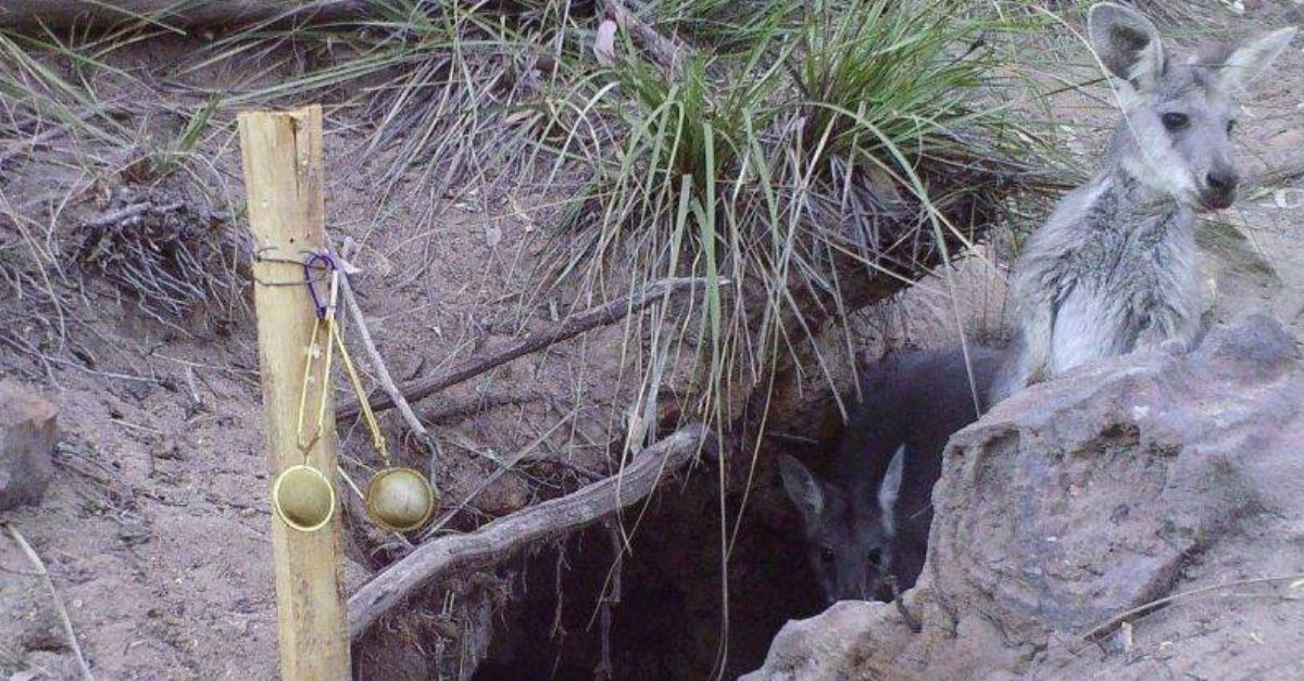 vombates cavam poco