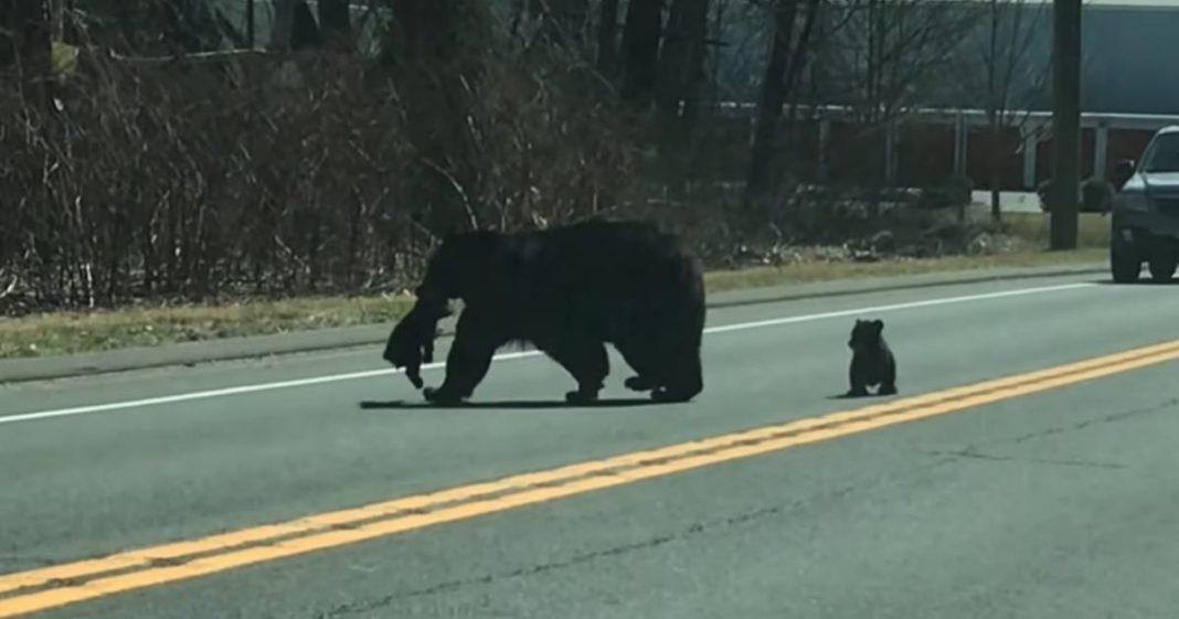 Mamãe ursa para trânsito tentando tirar seus filhotes bagunceiros da estrada