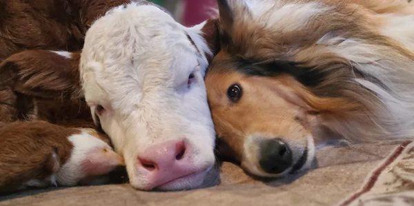 amizade bezerro cachorro 1
