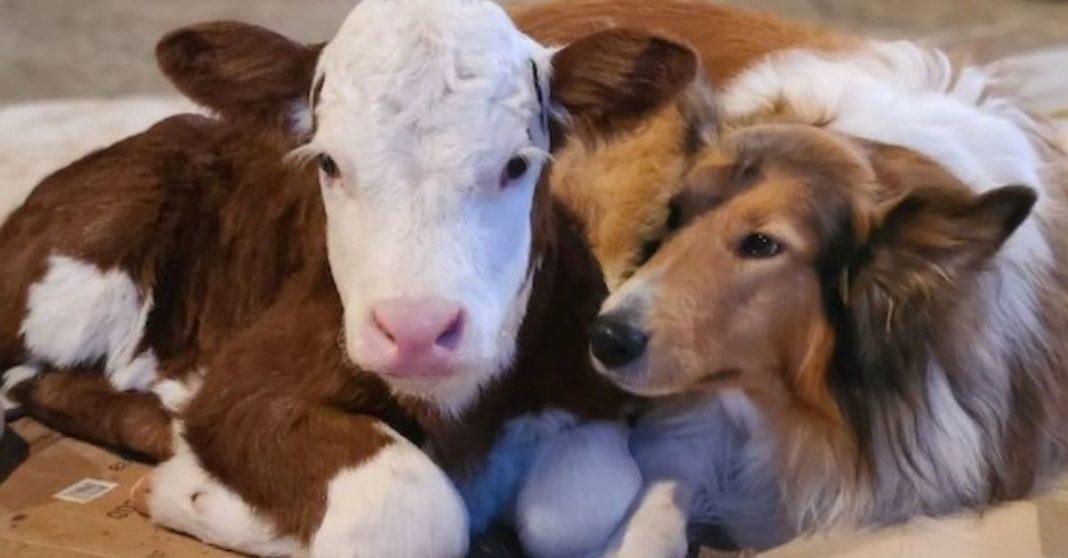 amizade bezerro cachorro