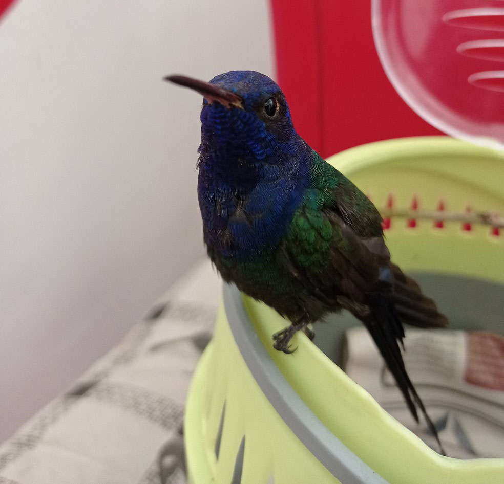 beija-flor azul verde