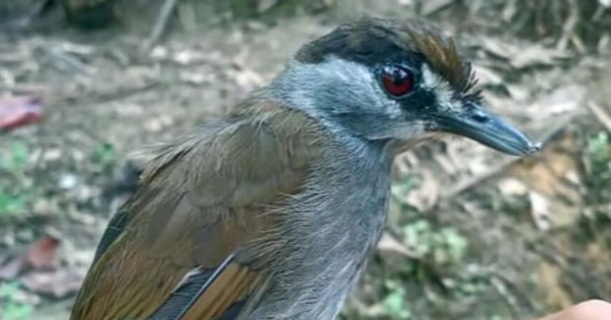 Pássaro desaparecida há 170 anos é econtrado