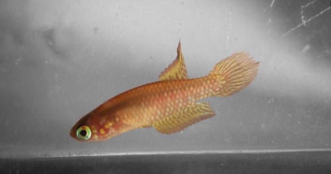 Peixe leptopanchax opalescens