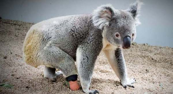 protese patinha coala 1