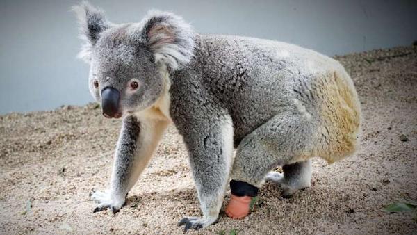 protese patinha coala 2
