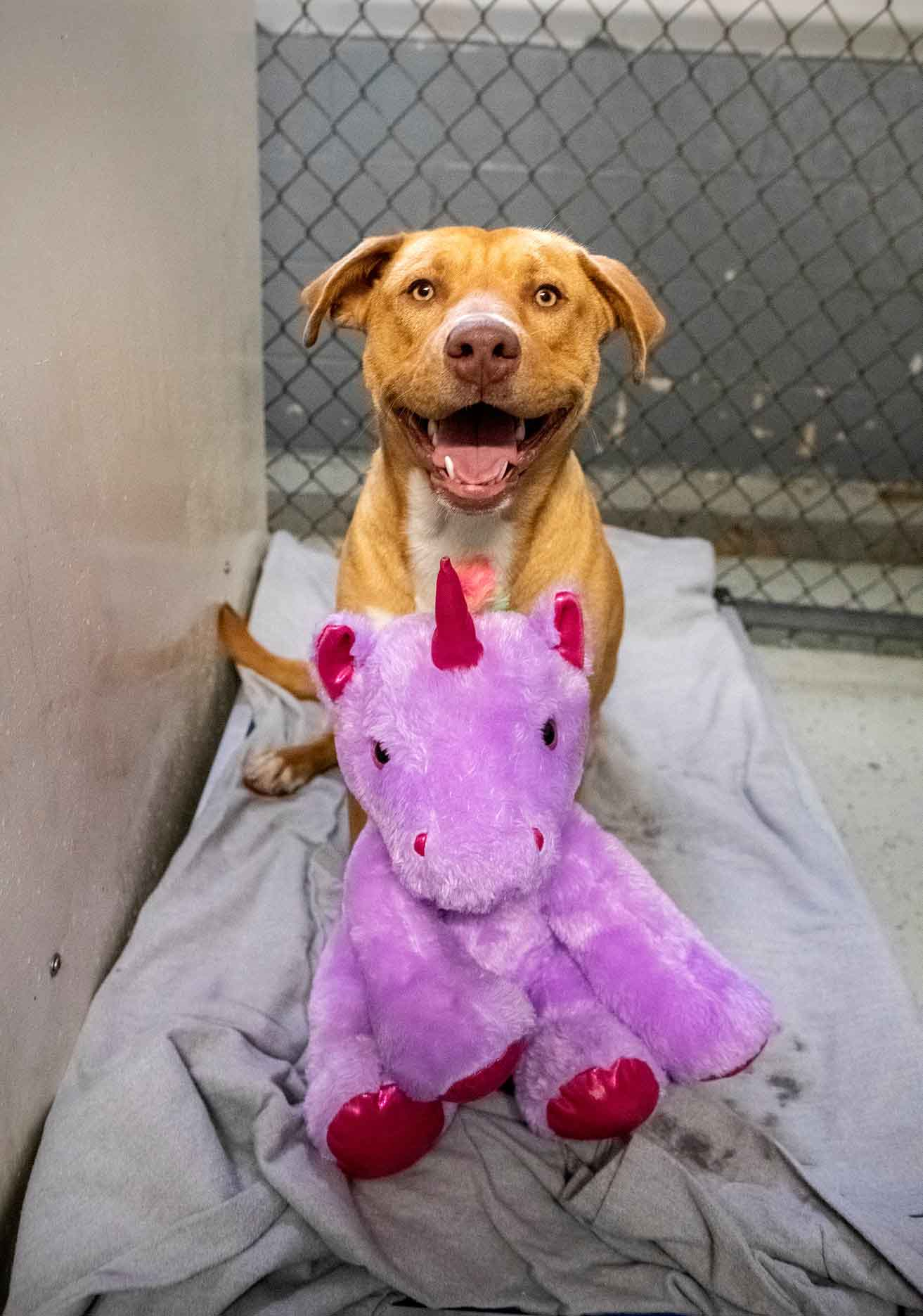 pit bull sorrindo com unicórnio de pelúcia