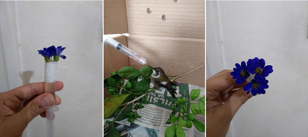 filhote de beija-flor tomando novo suplemento alimentar