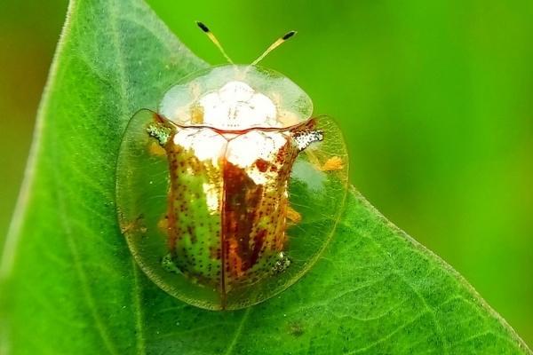besouro-tartaruga-dourada
