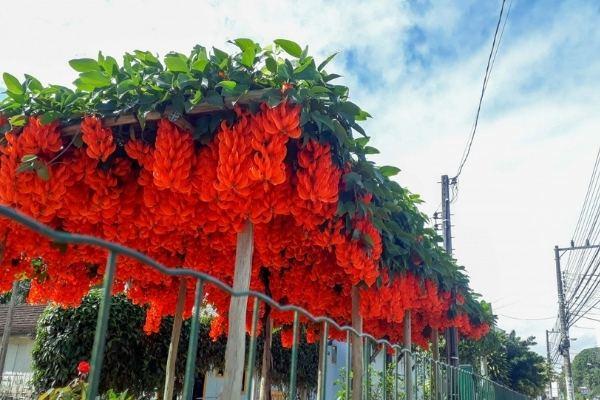 pergolado flor trepadeira-de-jade