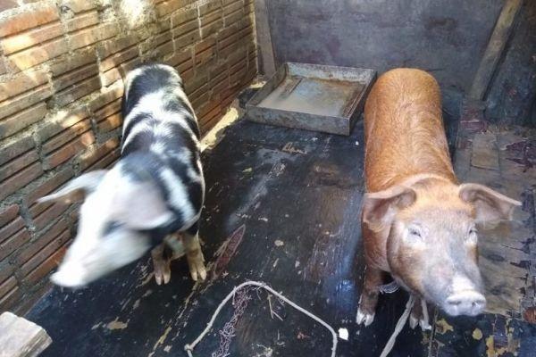 porquinhas prontas para tomar banho antes passeio