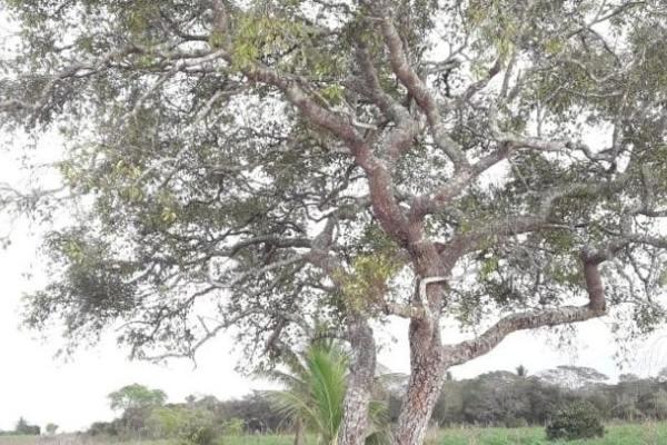 árvore mangabeira