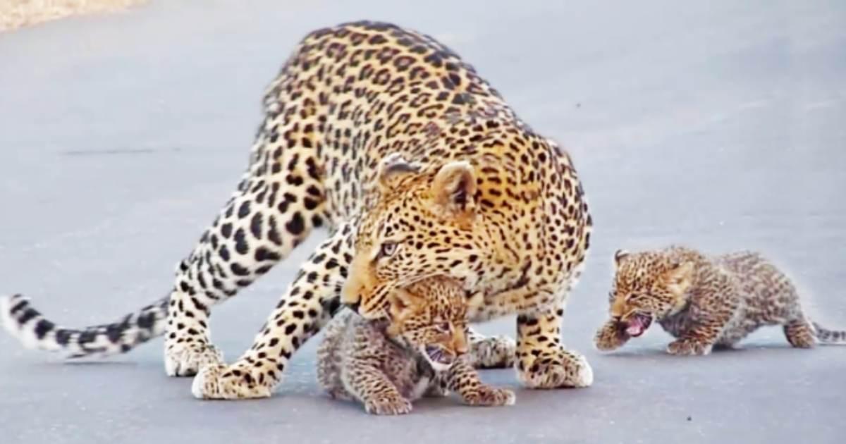 Mamãe leopardo com filhotes