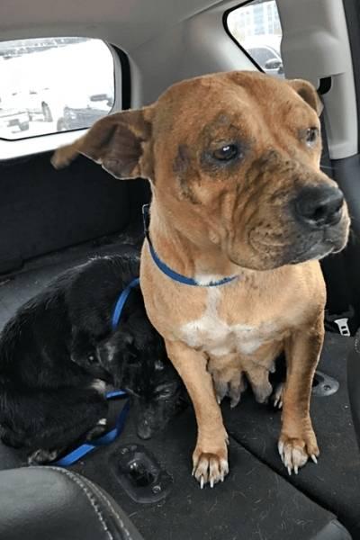 pit bulls Louie e Bridget