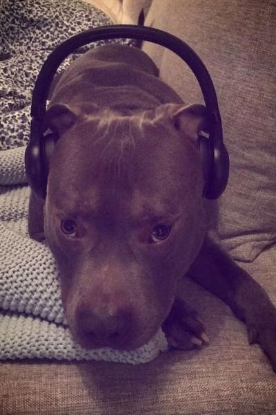 pit bull com fone ouvido