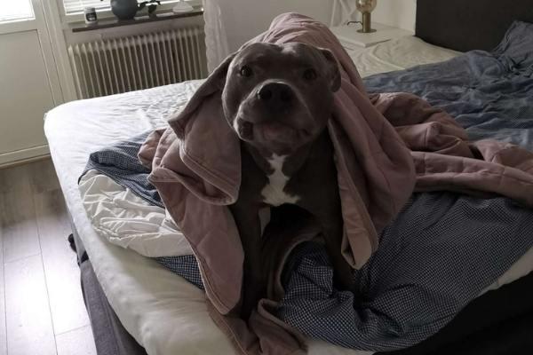 cão embaixo colcha