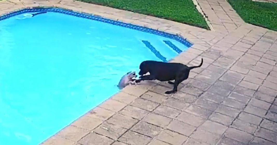cadela salva cachorro piscina