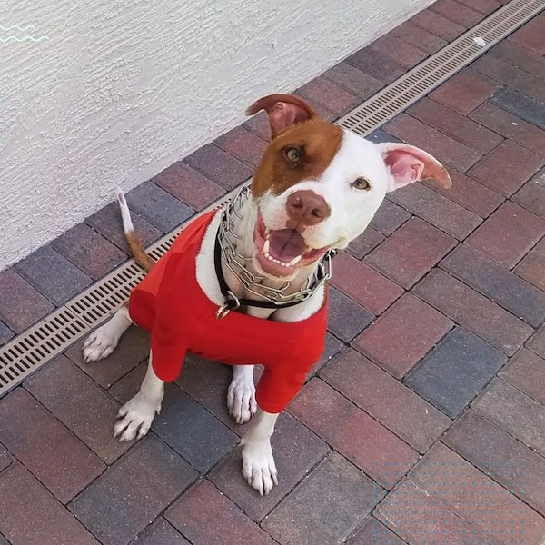 cão recuperado de queimaduras olha para a foto