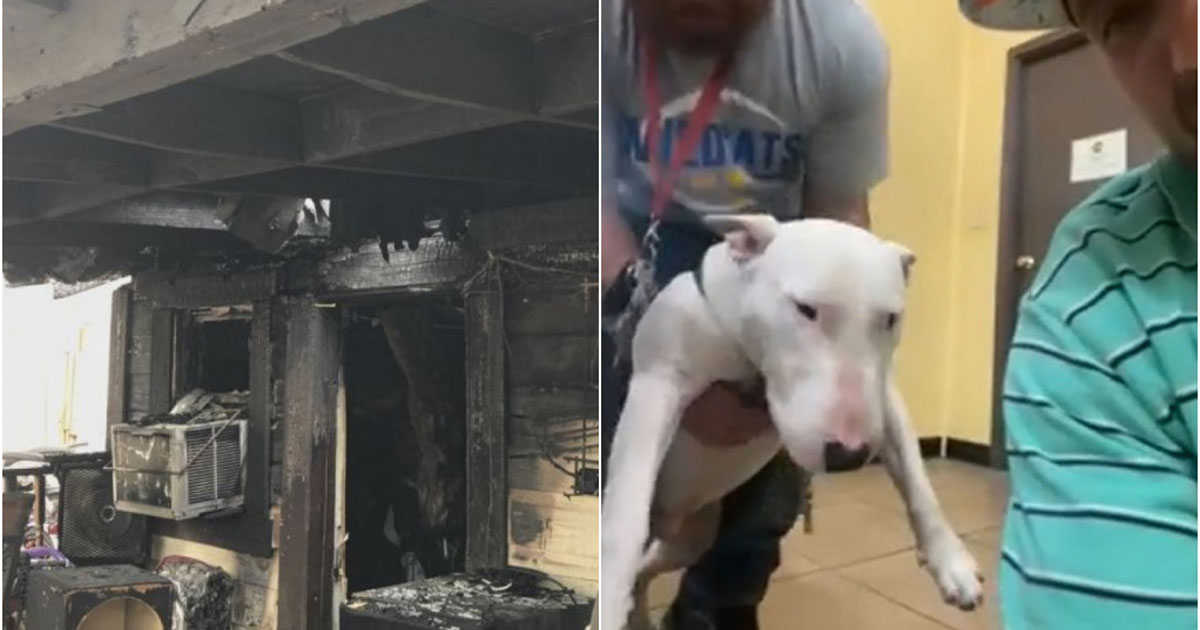 Bull terrier após salvar dono de incêndio