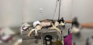 cadela recebendo transfusão sangue