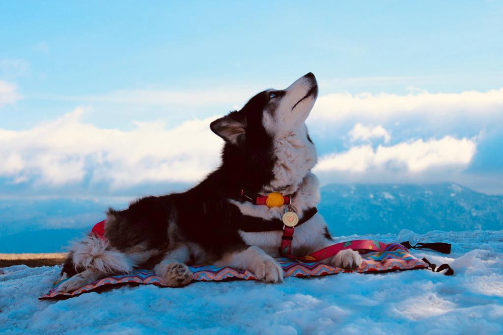 cadela husky siberiano deitada neve olhando céu