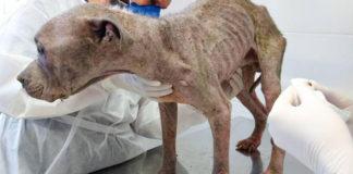 Cão fragilizado sendo cuidado por veterinários