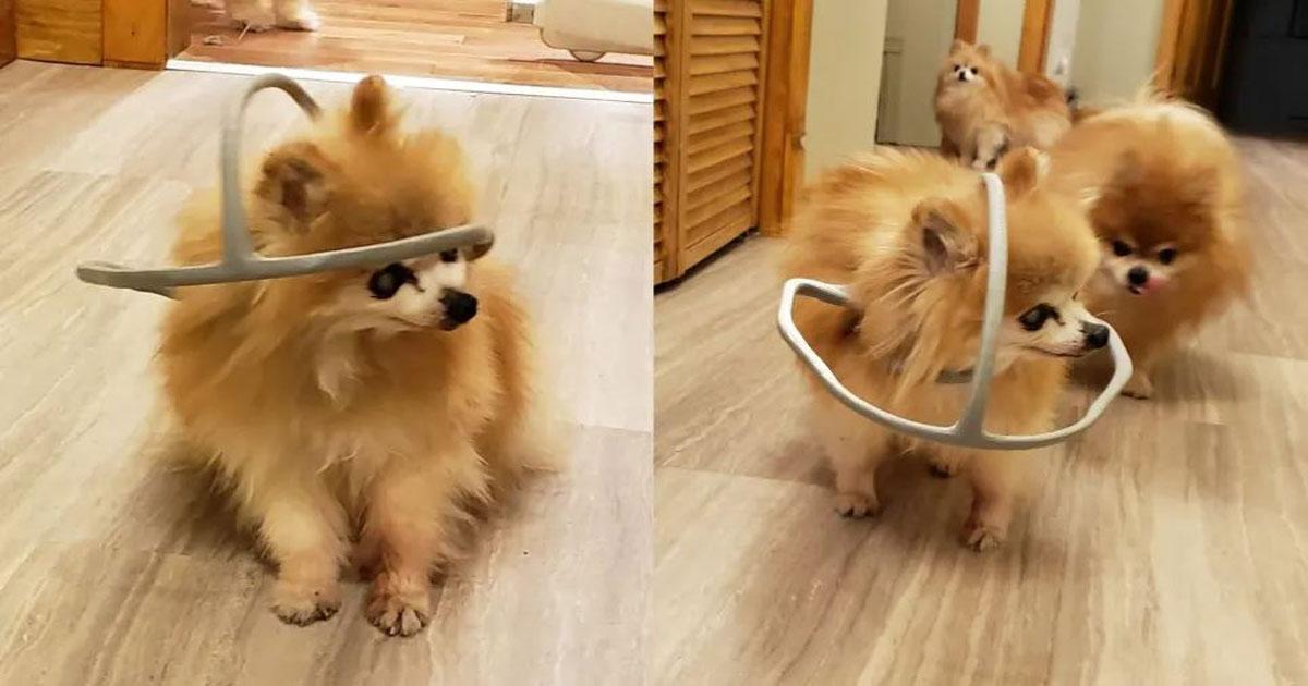 Cadela com aro contra colisão na cabeça