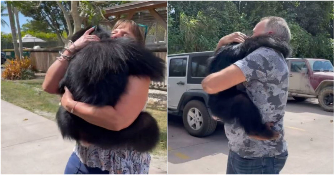 Chimpanzé abraçando humanos