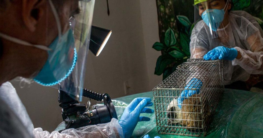 cientistas analisam animal amazônia