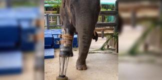 elefante caminha com prótese pata direita