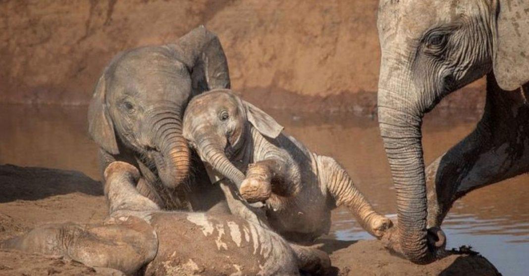 elefantes bebês brincam na lama
