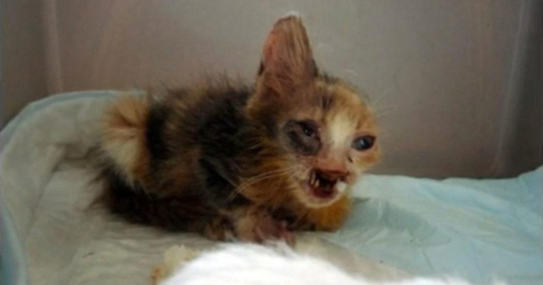 Gato desfigurado