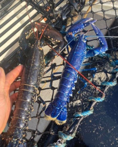 Lagosta azul e lagosta marrom