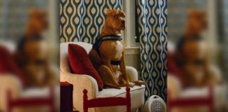 cachorro pit bull sentado poltrona