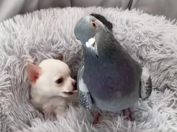 pombo e chihuahua