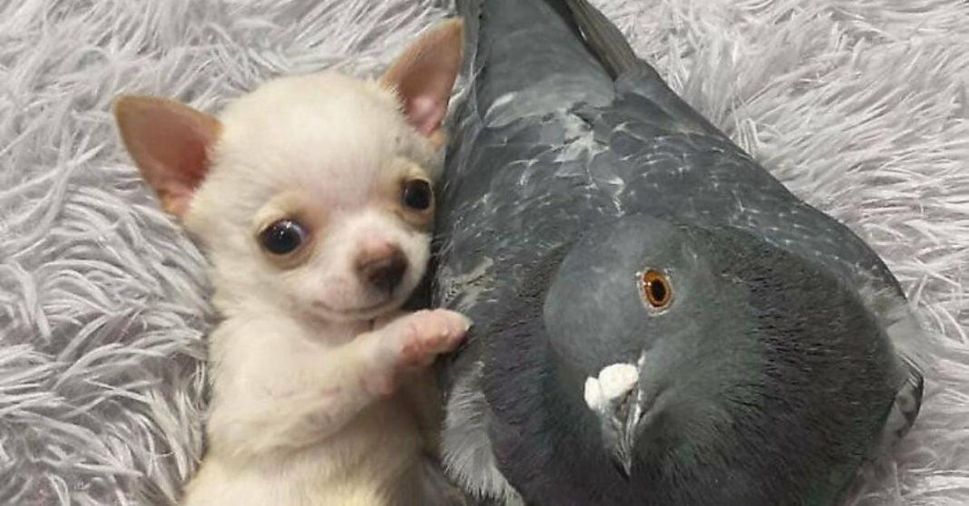 pombo e chihuahua deitados