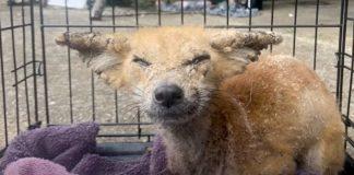 raposa com sarna resgatada