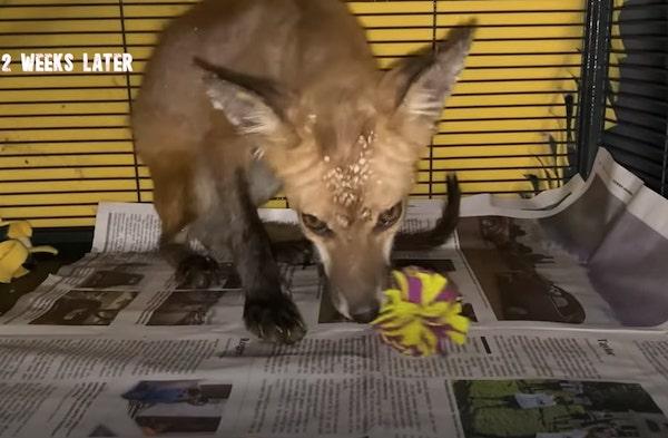 raposa com sarna em tratamento