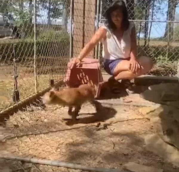 raposa sendo solta em jaula